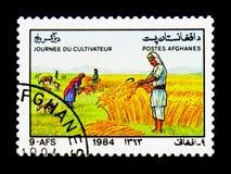 Harvesting wheat, Sheep (Ovis ammon aries), Farmers' Day serie, circa 1984 stock photos