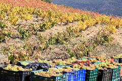 Harvesting white grapes in the south of Spain Royalty Free Stock Images