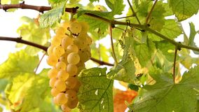 Harvesting white grapes Stock Photo