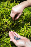 Harvesting of wild blueberries Royalty Free Stock Photography