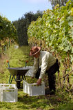 Harvesting wine grapes. Elderly man while harvesting vine on a large vineyard Stock Photography