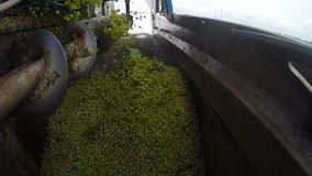 The Harvesting of Wine Grapes. Grape Berries Piled in a Bunker Harvesters.Timelapse stock footage