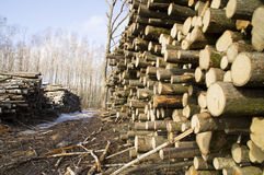 Harvesting wood Bresse. Storage felled trees in the forest on a glade Stock Photos