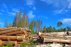 Harvesting of wood in Russia. Logs in the logging. Harvesting of wood in Russia Royalty Free Stock Images
