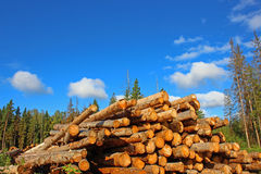 Harvesting of wood in Russia. Logs in the logging. Harvesting of wood in Russia Stock Photo