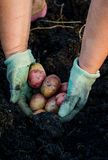 Harvesting the young potatoes in woman hands in the garden Royalty Free Stock Photography