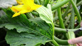 Harvesting zucchini Royalty Free Stock Image