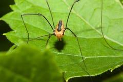 harvestman αράχνη Στοκ φωτογραφία με δικαίωμα ελεύθερης χρήσης