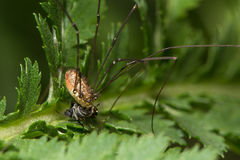 Harvestman αράχνη rotundum Leiobunum που τρώει το θήραμα μυγών που παρουσιάζει mou Στοκ φωτογραφίες με δικαίωμα ελεύθερης χρήσης
