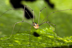 Free Harvestman Stock Photos - 10439283