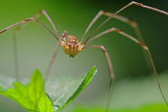Harvestman Stock Photos