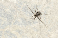 Harvestman. A black Daddy-Longlegs on surface of rocks Royalty Free Stock Photography