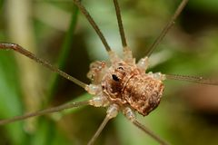 harvestman Royalty-vrije Stock Foto