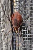 Harvestman arachnid. Macro harvestman or daddy long legs arachnid stock images