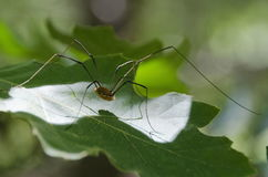 Harvestman. A harvestman arachnid also called daddy long legs or harvester of the scientific order opiliones Stock Photos