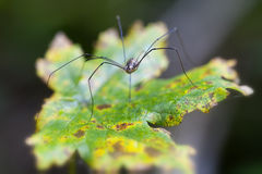 Harvestman - autumnal leaf Royalty Free Stock Image