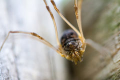 Harvestman Stock Image