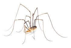 Harvestman isolted on white background Royalty Free Stock Photo