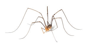 Harvestman isolted on white background stock images