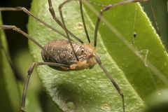 Harvestman on leaves Royalty Free Stock Images