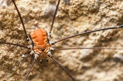 Harvestman Royalty Free Stock Photography