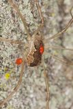 Harvestman with parasites Royalty Free Stock Image