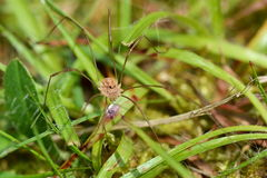 Harvestman Royalty Free Stock Photo