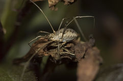 Harvestman in Repose Stock Photography