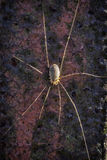 Harvestman - Rilana triangularis - rusty surface Royalty Free Stock Photo