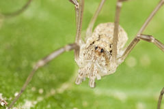 Harvestman sitting on leaf Royalty Free Stock Image