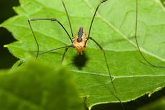 Harvestman spider Royalty Free Stock Photo