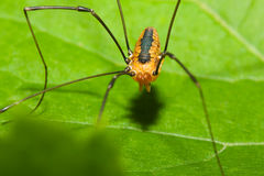 Harvestman spider Stock Images