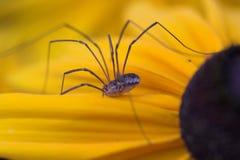 Harvestman spider. Harvestman Opiliones on a sunflower Royalty Free Stock Images