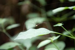 Harvestman spider on a bush branch leaf stock photo