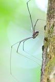 Harvestman spider or daddy longlegs Stock Photos