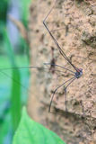 Harvestman spider or daddy longlegs close up on tree Stock Photo