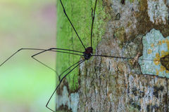 Harvestman spider or daddy longlegs Stock Images
