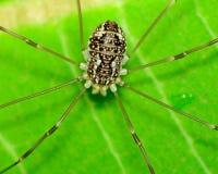 Harvestman Spider Stock Image