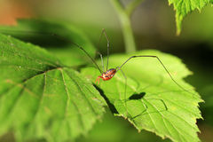 Harvestman Royalty Free Stock Images
