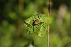 Harvestmen Golden Stock Photos