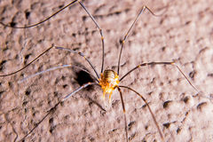Harvestmen Royalty Free Stock Images
