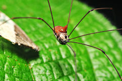 Harvestmen spider Stock Image