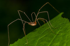 Harvestmen Spider Stock Photo