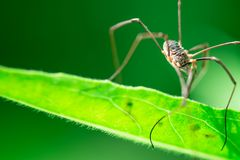 Harvestmen waiting to attack its prey, male insect royalty free stock photo