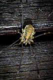 Harvestmen Royalty Free Stock Photo