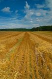 Harveted corn field. Harvested cornfield with a beautiful blue sky above it Royalty Free Stock Image