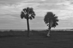 Harvey drzewko palmowe Fotografia Royalty Free