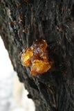 Harz auf dem Baum Stockbild