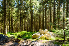 Harz - pine forrest. A classic pine forrest with green plants covering the forrest bottom - Harz is a perfect place to visit in the Spring in Northern Central royalty free stock images
