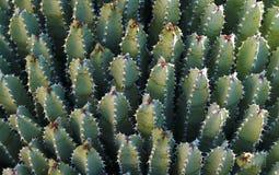 Harz spurge Euphorbiengummi resinifera, Kaktushintergrund lizenzfreie stockbilder